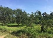 230 Acre Orange Orchard